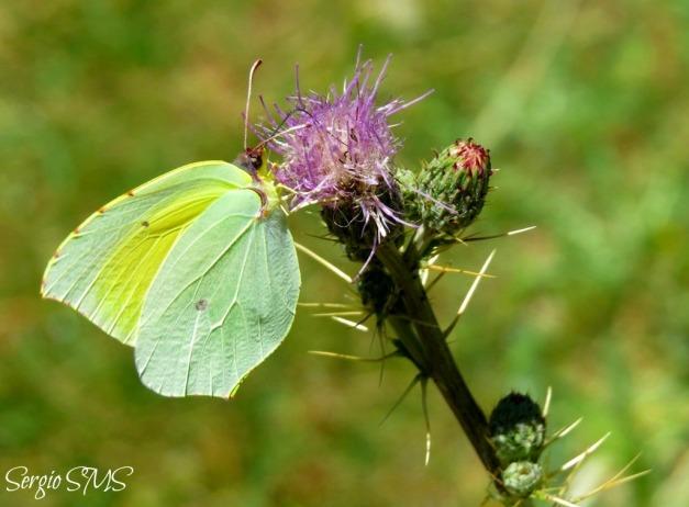 IMG_36322 - Gonepteryx rhamni